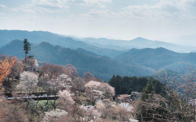 Yoshino during cherry blossom [David Tan]