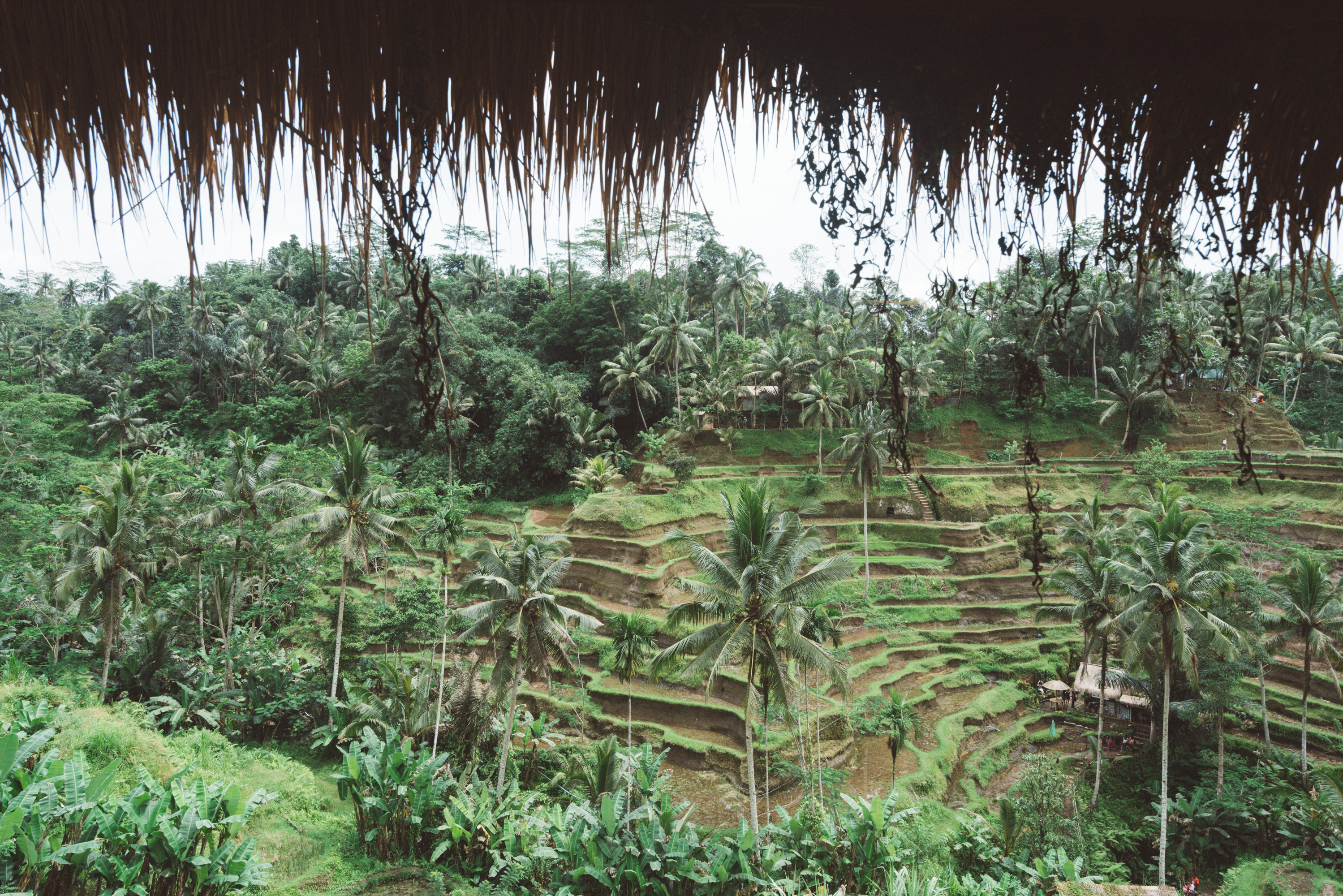 rice paddy field in Bali [David Tan]